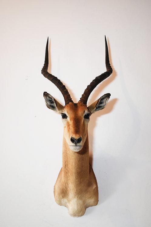 Impala Mount
