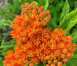 Asclepius tuberosa aka Butterfly Milkweed2.jpg