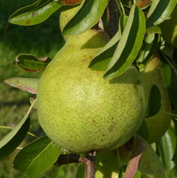 Pear - ready to eat   Valerie Whitmell