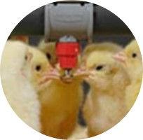 chicks drinking.jpg