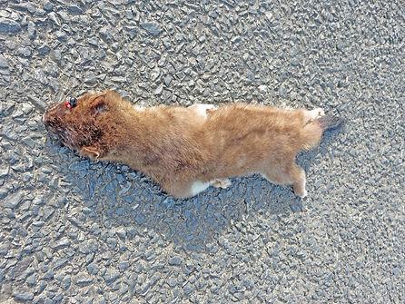 Stoat dead on Road.jpg