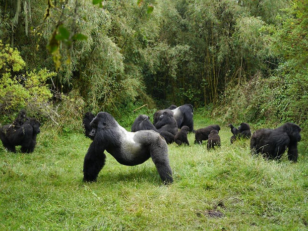 Mountain gorilla group - Volcanoes NP