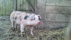 Unser Schwein Kuno