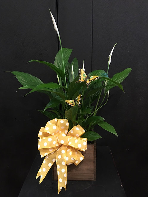 """6"""" Spathaphylum (Peace Lily)"""