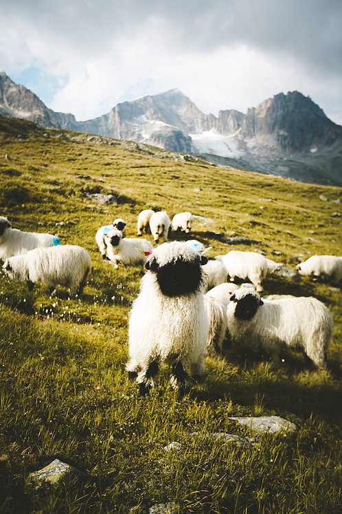 Furka Schafe