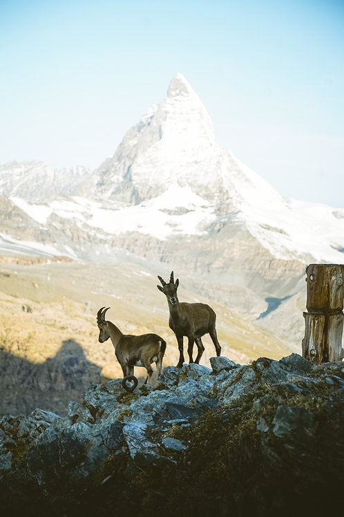 Zermatter Böcke