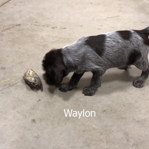 6 Weeks Old - Waylon
