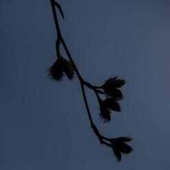 Beech Mast Silhouette