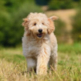 goldendoodle_aspect-ratio_1x1.jpg