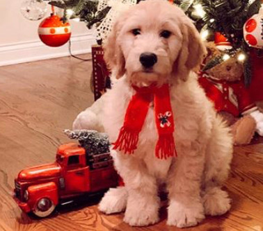 Fun Facts About Goldendoodles