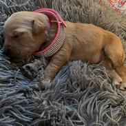 F1 Standard English Teddy Bear Goldendoodle Female