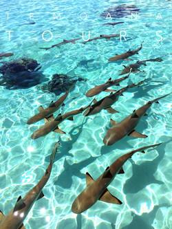 SHARKS BD