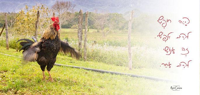 תרנגול עברית.jpg
