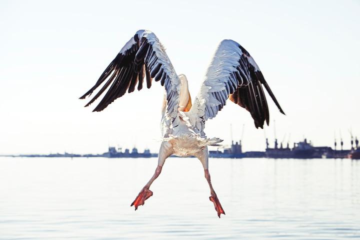 Die Pelikane von Walvis Bay