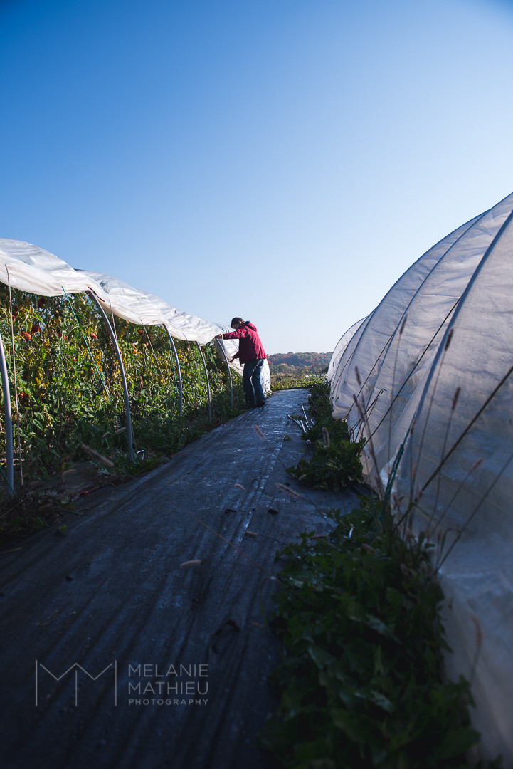 Photo Project: Farmer removing tunnel where tomatoes are growing.