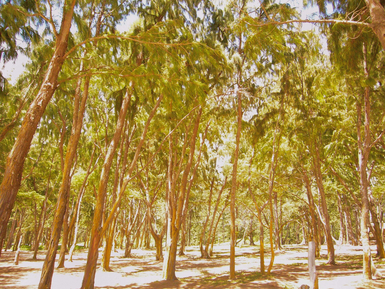 Waimanalo Trees, East Oahu