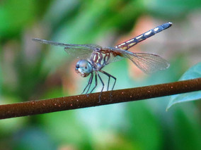 Why Be a Dragonfly?