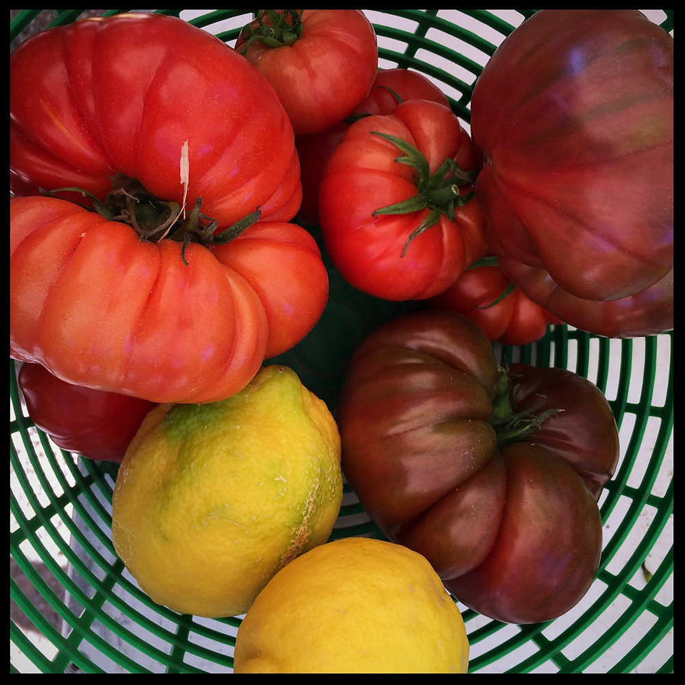 Heritage tomatoes in Provence