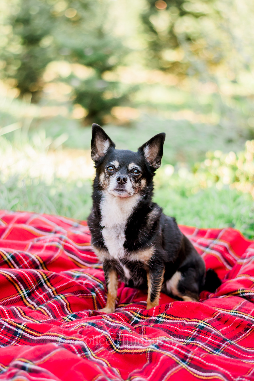 Christmas Tree Farm Mini Session   Daralyn & Barry   Columbus, OH   Dog Portraits   Pet Photos   Pet Portraits