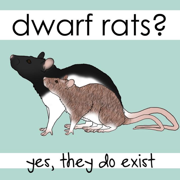 Dwarf Rats