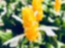 flor-amarela-planta-de-camarao.jpg