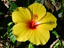 hibisco amarelo.png