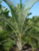 palmeira triangular.png