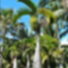 palmeira garrafão.png