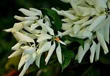 mussaenda-branca comum.png