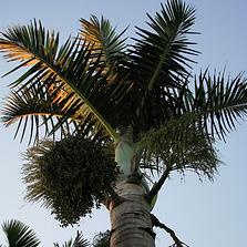 palmeira fuso.png