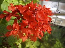 clerodendro.png