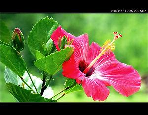 hibisco.jpg