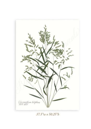 Chasmanthiumlatifolium_Retouched_web.jpg