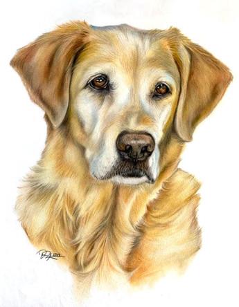 Yellow Labrador Pet Portrait