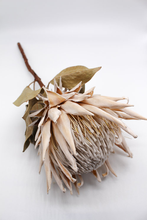 "Getrocknete Protea ""Weiß"""