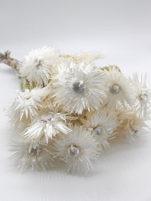 Getrocknete Strohblumen Weiß