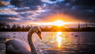 Swan on the lake, Kensington