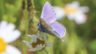 Common Blue on a Daisy