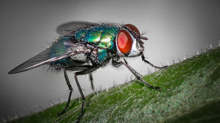 Green Fly 1