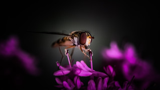 Spotlight on Hoverfly