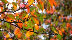 12/10/2018 - Autumn Leaves
