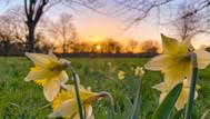 Daffodil Sunrise Lammas Park