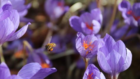 Bee in Autumn Crocuses