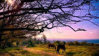 Wild Ponies graze