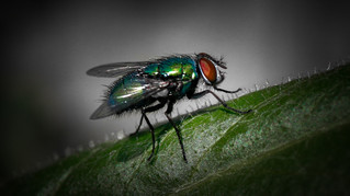 Green fly 3