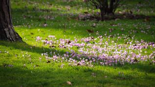 Cyclamen on the Lawn