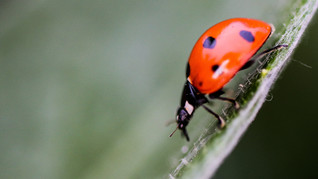 Ladybird on the prowl