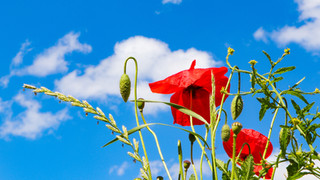 Wild poppies against a blue sky