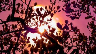 Magnolia Sun