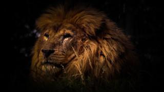 Jasiri the Lion